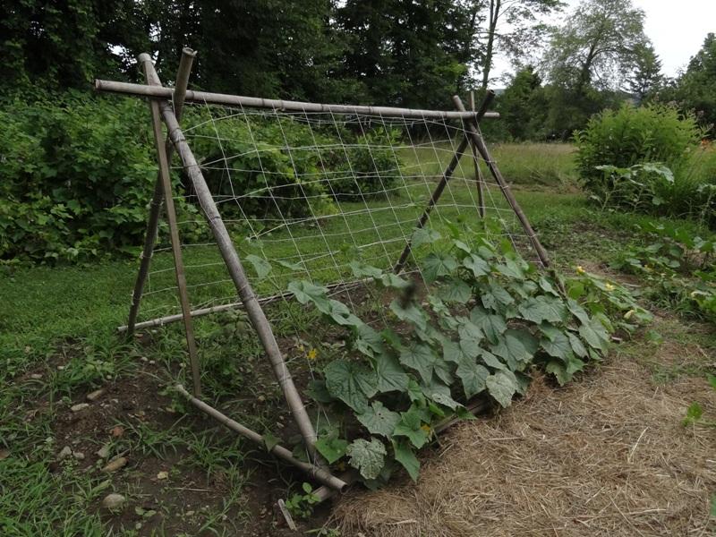 Sarah Hollister's cucumber trellis