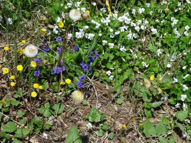 Coltsfoot and violets on the Rose Bank