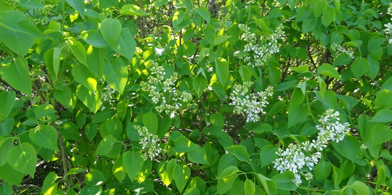 Old white lilacs