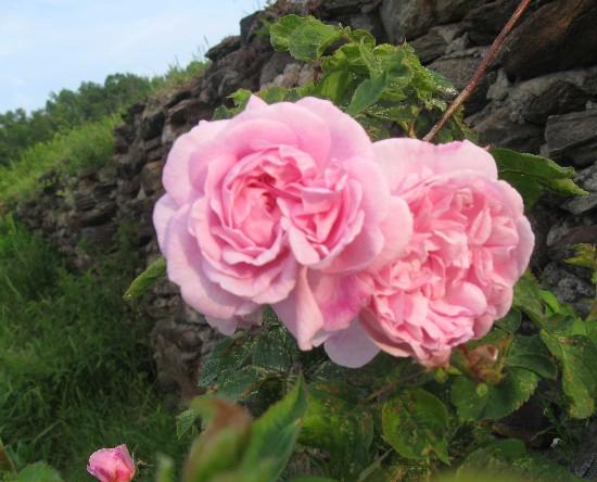 Fantin-Latour rose