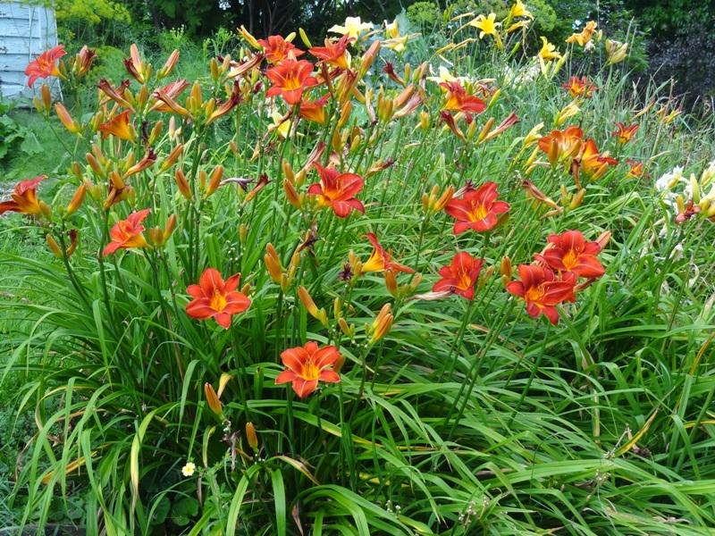 Ann Varner daylily