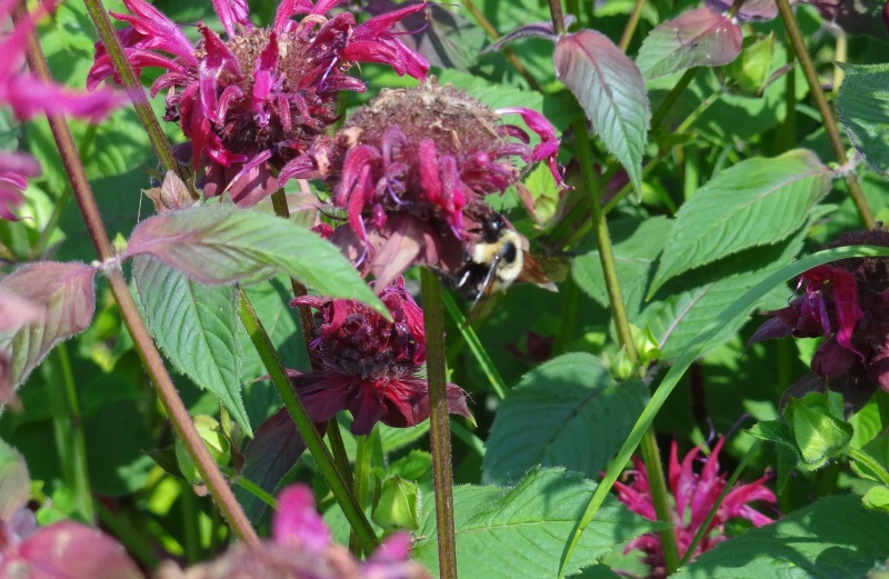 Bee balm and bee