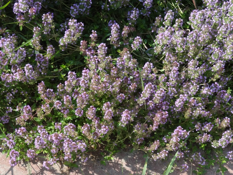 Bees in the thyme