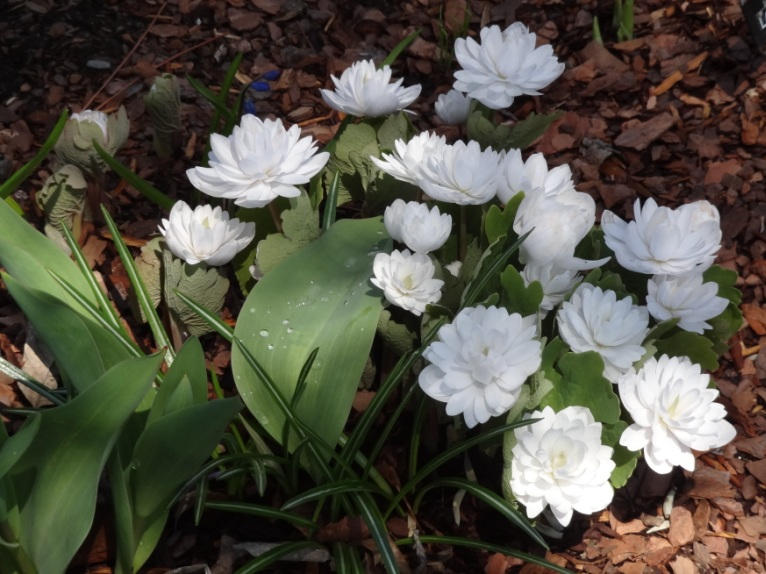 Double bloodroot May 1