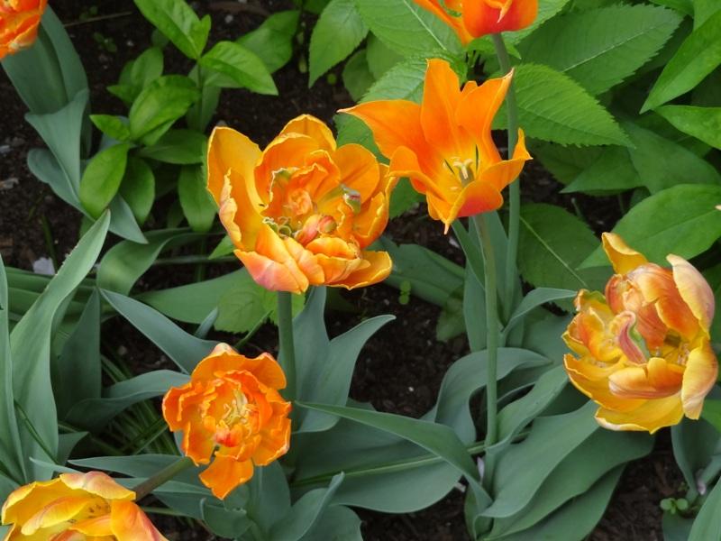 Tulips May 25