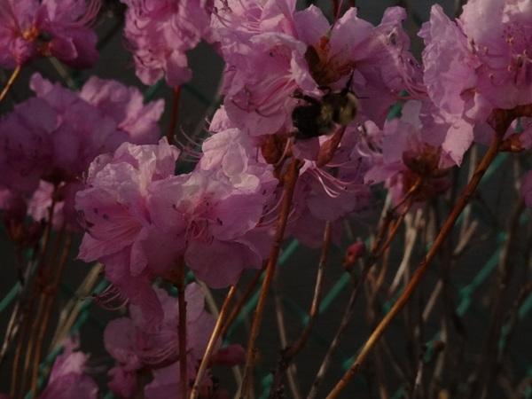 Azaleas  May 7