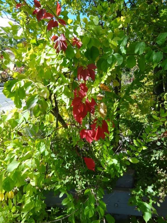red leaves on a vine