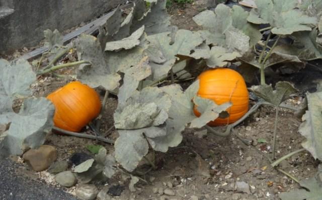 Schoolyard pumpkins
