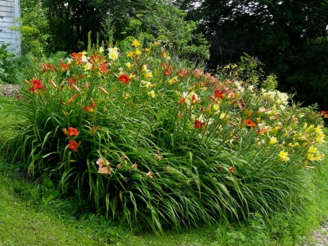 Daylily Bank in August