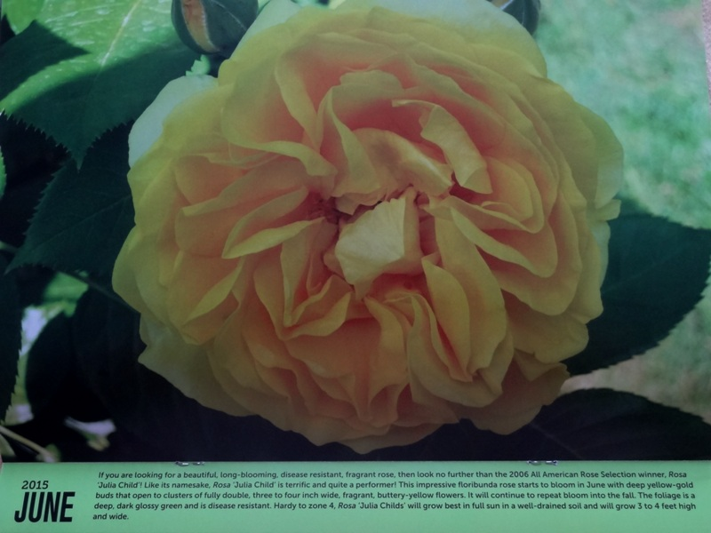 2015 UMass Extension Calendar - Julia Child Rose for June