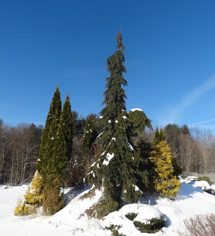 Marsha Session's Conifers