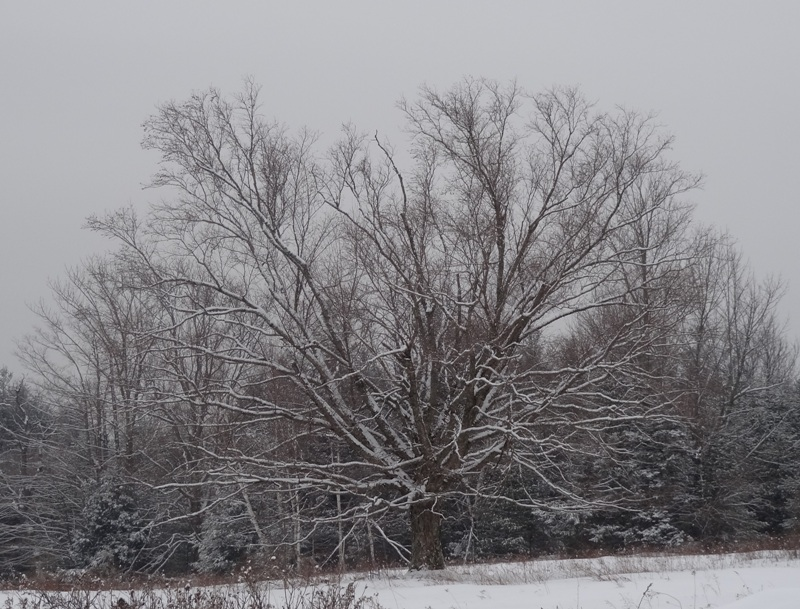 "Birch Tree before the ""Blizzard for the Ages"""