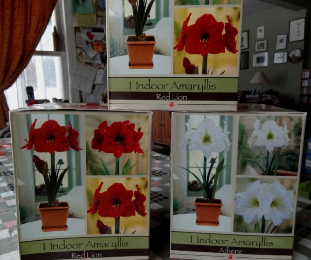 boxed amaryllis bulbs