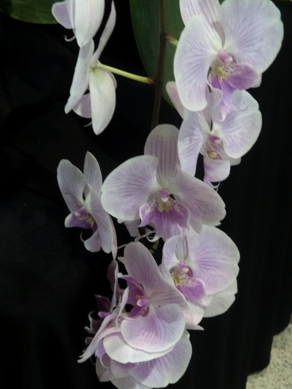 Phalaenopsis ing. 'Pink Butterfly'