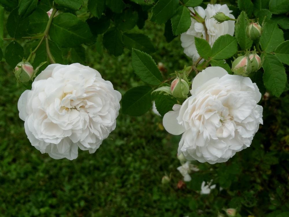 Mme Plantier rose