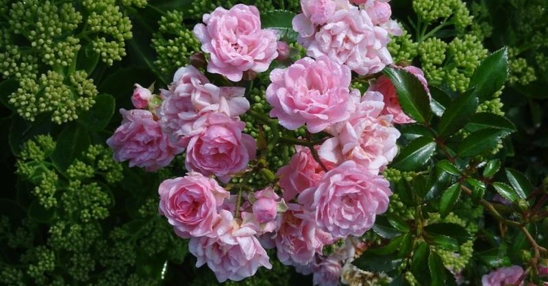 The Fairy, an Earth Kind rose
