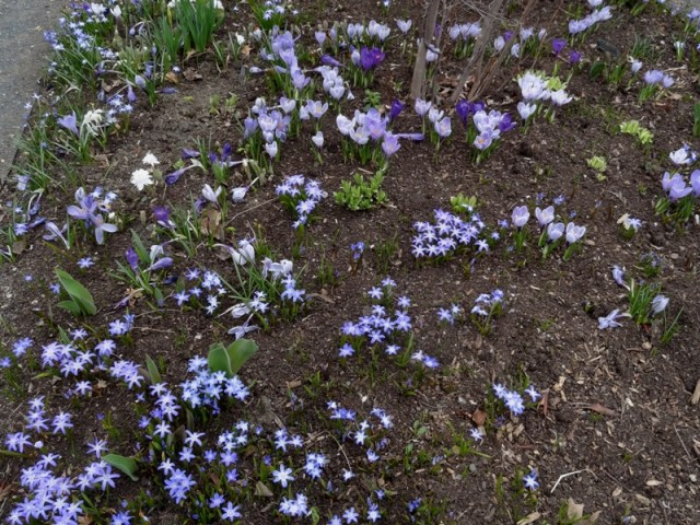 Little Bulbs - Crocus and Glory of the Snow