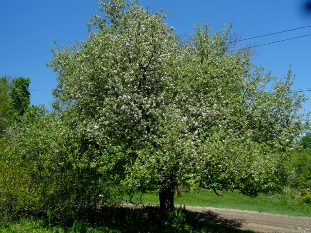 old apple tree in bloom