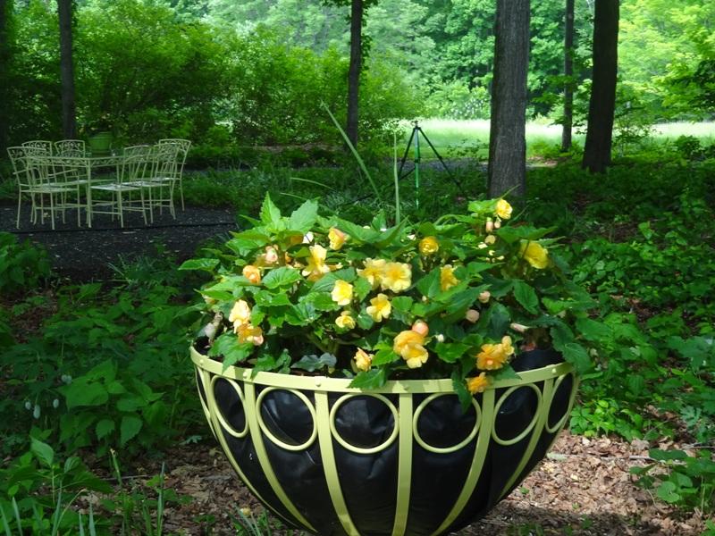 Ornamental yellow begonias