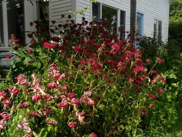 Black Beauty lilies and bee balm