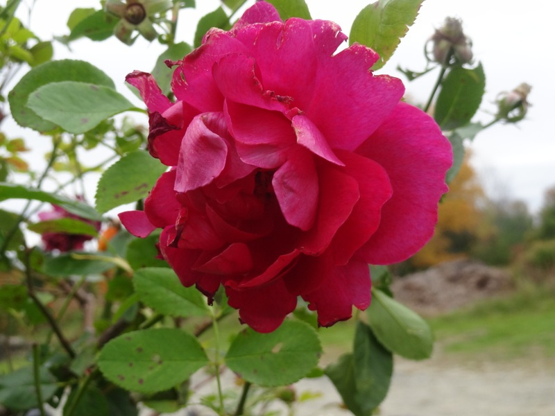 Thomas Affleck rose