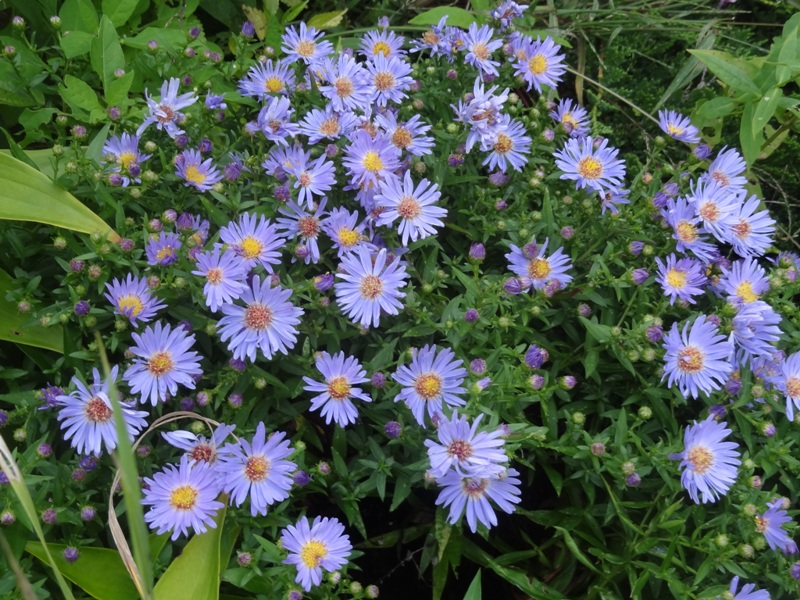 Wood aster in Greenfield, September 15,  2015