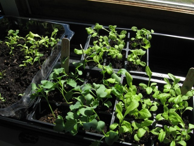 Seedlings in front of a Heath window