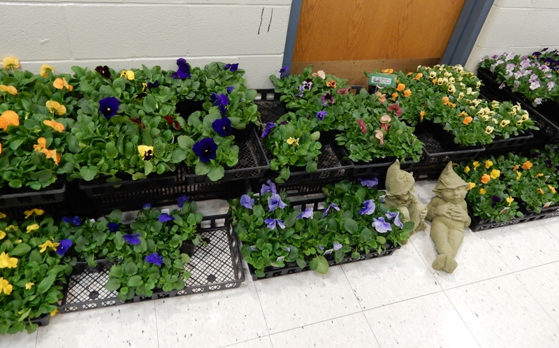 Pansies from Andrews Greenhouse