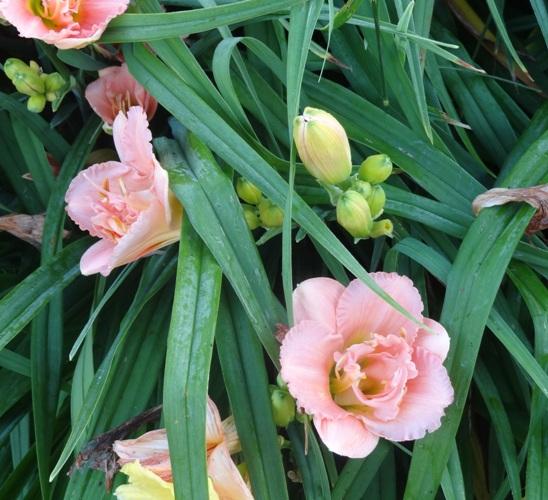 """Henerocallis 'Pink Fancy"""""""