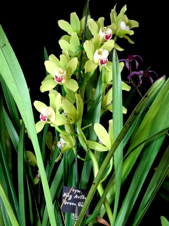Cymbidium King Arthur'