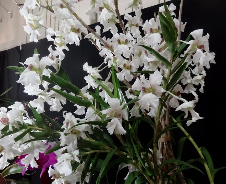 Dendrobium sanderae 'Tunxis Road'