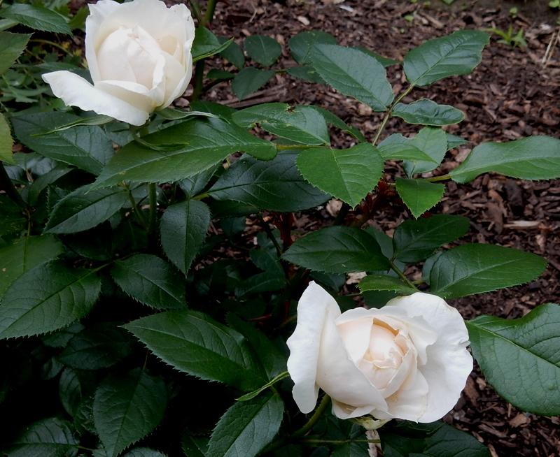 Lion's Fairy Tale rose