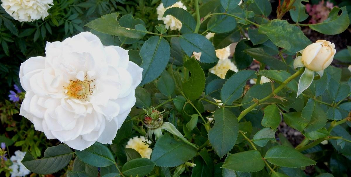 Polar Express Kordes rose