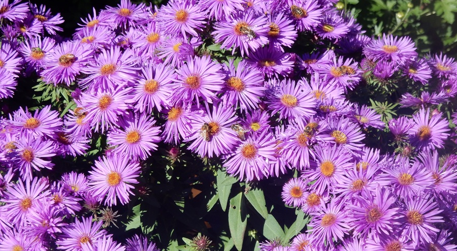 Asters and bees