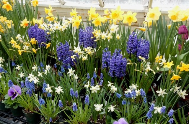 Mt Holyoke College Spring Bulb show