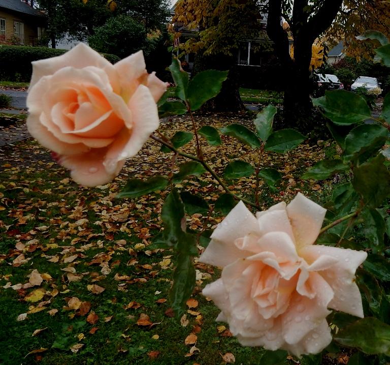 Kordes Lions Fairy Tale Rose