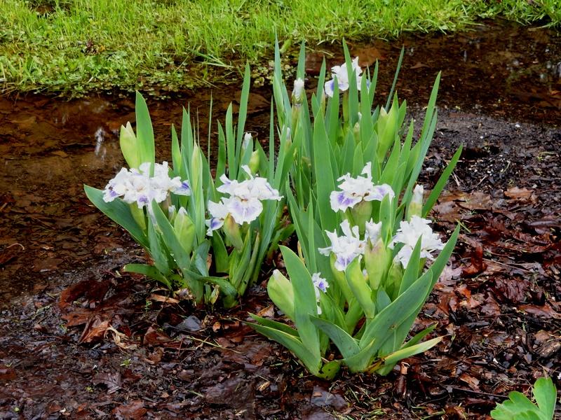 little irises - nameless
