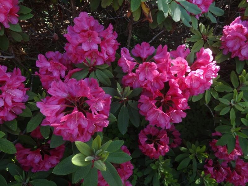 Gigi rhododendron