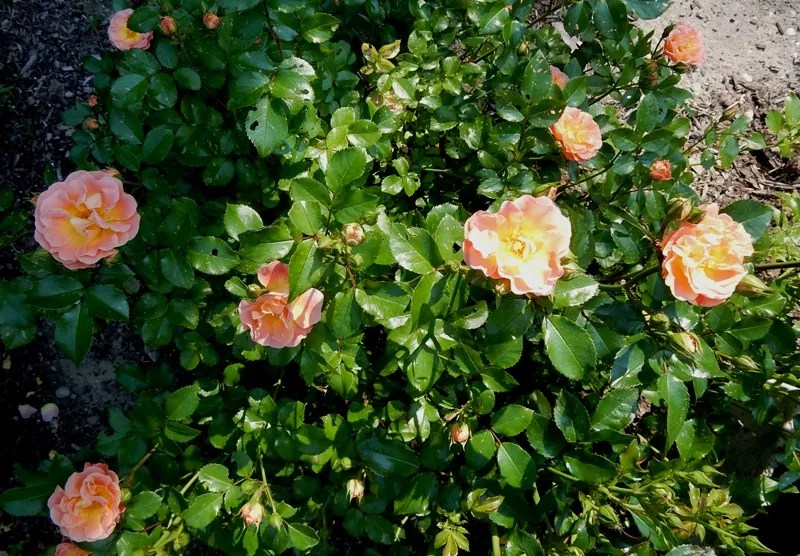 Drift rose - Peach