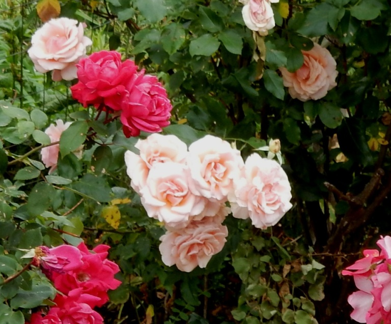 Earth Kind Trial roses