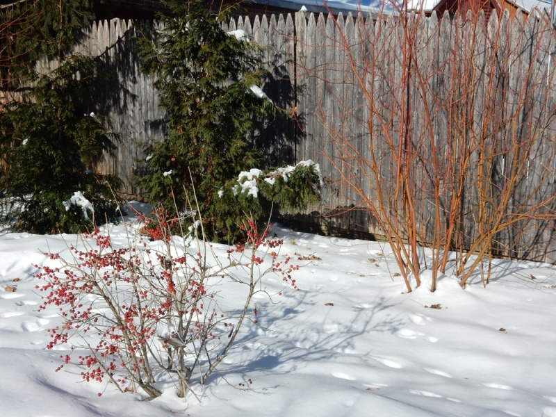 Red winterberries and osier dogwood