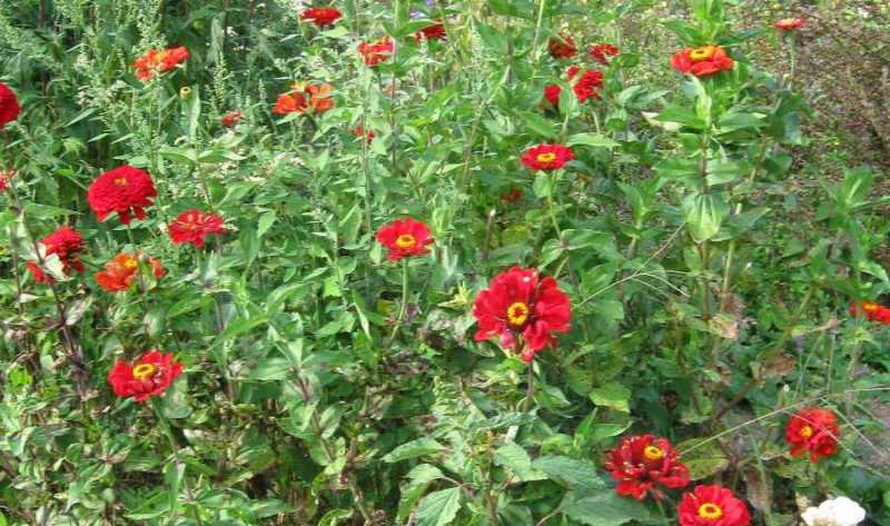 Zinnias at NYBG Emily Dickinson Exhibit
