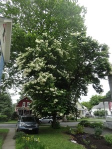 Lilac Tree and Sycamore on Beech St