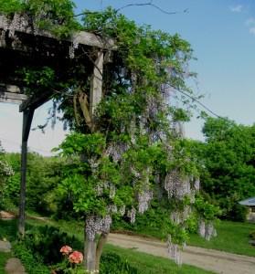 wisteria vines