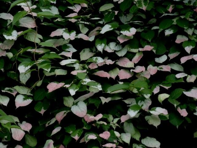 Kiwi foliage
