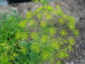 dill is one of my favorite culinary herbs