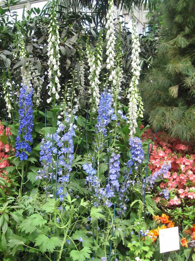 Delphiniums and foxgloves are poisonous plants