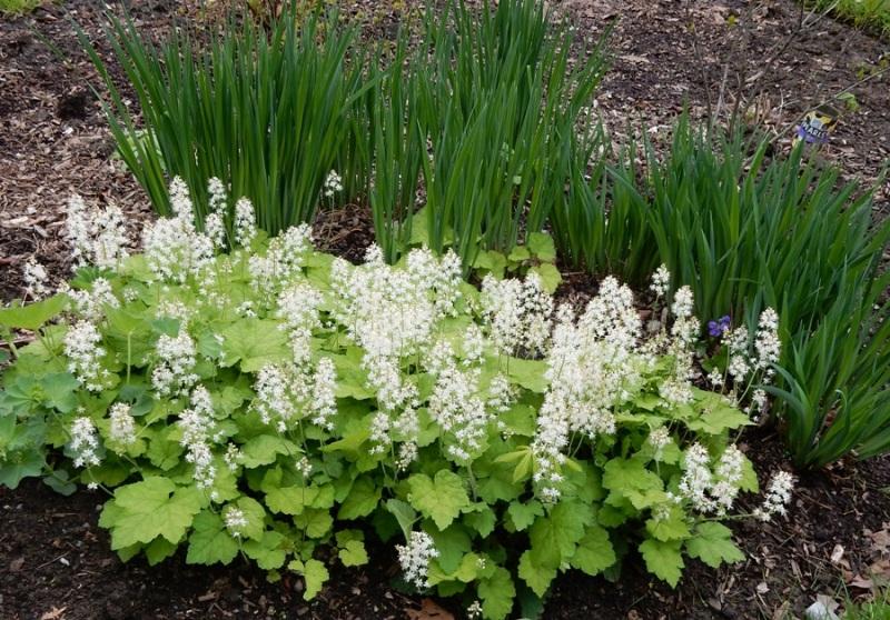 tiarella or foam flower