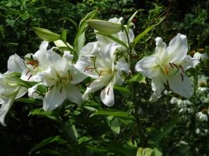 """Lilium """"Casa Blanca"""" lilies"""