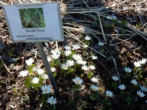 Native Single bloodroot